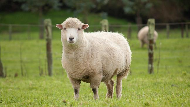sheep-now-outnumber-people-in-wales-by-three-to-one-new-data-shows-136412300756403901-161220141640
